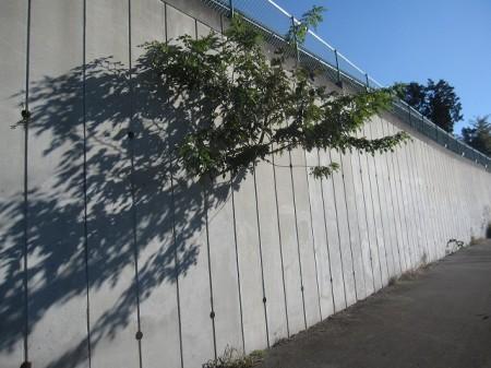 ど根性な木