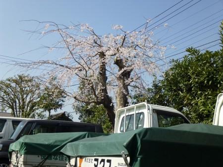 y-150325桜(1)
