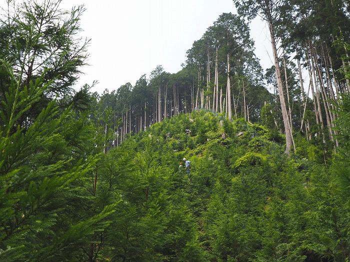 天竜美林の下草刈り